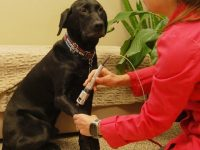 large black dog receiving laser therapy
