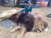 Veterinarian with large lion asleep for surgery